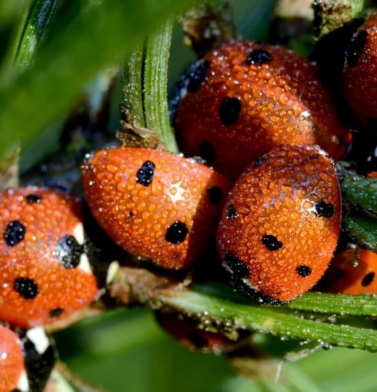 Providing habitats for ladybirds to hibernate and breed.