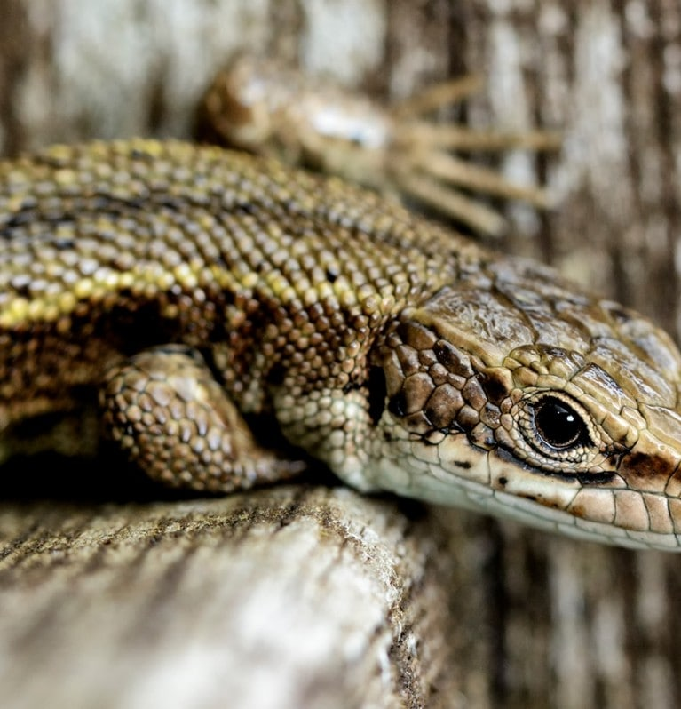 Creating homes for lizards
